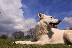 White shepherd dog Royalty Free Stock Images