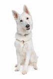 White shepherd dog Stock Photos