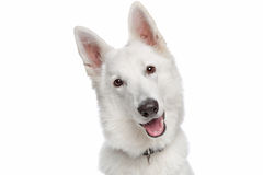 White shepherd dog Royalty Free Stock Photography