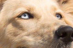 White Shepherd dog blue eyes. Close up portrait. Stock Photo