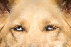 White Shepherd dog with blue eyes close up portrait. Stock Photography