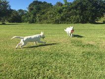 A White Shepherd Dog Chasing a Puppy with a Frisbee Stock Photo