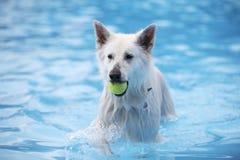 White Shepherd dog, fetching tennis ball in swimming pool Stock Image