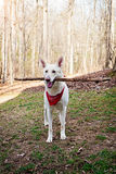White Shepherd Dog Outdoors With Big Stick Royalty Free Stock Photography