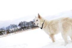 White shepherd dog. A white shepherd dog in snow Stock Images