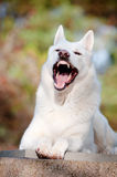 White shepherd dog yawning Stock Photos