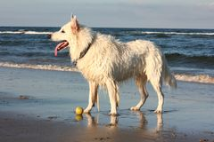Dog playing at the beach stock images