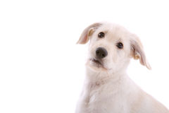 White shepherd pup Stock Photo