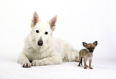 White shepherd and short hair chihuahua looking into the camera lens. White german shepherd laying next to a short hair chihuahua standing up. Both dogs looking Royalty Free Stock Image
