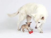 White shepherd watching Chihuahua play. White German Shepherd watching short hair Chihuahua play with red toy Royalty Free Stock Images