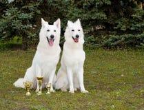 White Shepherds two friends. Stock Photos