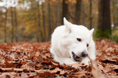 White sheppard in the forest chewing on his stick. Happy dog photographed outside in the forest royalty free stock photography