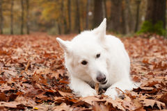 White sheppard in the forest lays down. Happy dog photographed outside in the forest royalty free stock photography
