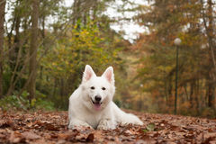 White sheppard in the forest lays down. Happy dog photographed outside in the forest stock photos