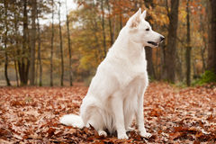 White sheppard in the forest is sitting. Happy dog photographed outside in the forest royalty free stock photo