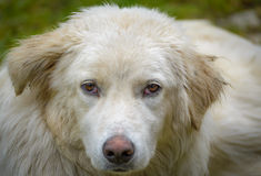 White shepperd. White carpathian shepherd dog portrait Royalty Free Stock Images