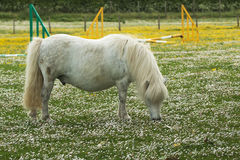 White Shetland Pony Royalty Free Stock Photo