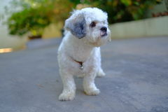 White Shih Tzu Dog. Standing and looking something stock image