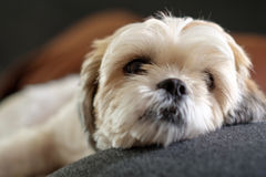 White shih tzu laying on the floor. Close up White shih tzu laying on the floor Royalty Free Stock Images