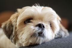 White shih tzu laying on the floor. Close up White shih tzu laying on the floor Royalty Free Stock Photography