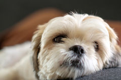White shih tzu laying on the floor. Close up White shih tzu laying on the floor Stock Photos