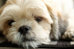 White shih tzu laying on the floor. Close up White shih tzu laying on the floor Stock Photography
