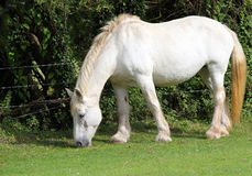 White Shire horse . White shire horse in a field. A heavy horse bred for working on the land Royalty Free Stock Images