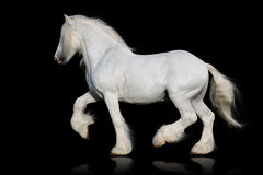 White shire horse isolated on the black Royalty Free Stock Image