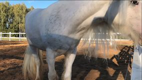 White shire horse in slow motion stock video footage