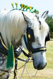 White shire horse portrait Royalty Free Stock Image