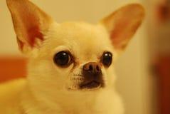White Short Coat Dog Stock Images