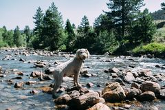 White Short Coat Dog Standing Black and Brown Rocks on Body of Water Royalty Free Stock Images