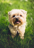 White Short Coat Puppy on Green Grass Stock Photography