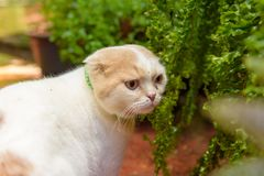 White short ear cat in garden. Look to something Royalty Free Stock Photography