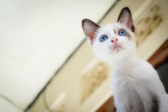 White Short Fur Kitten With Blue Eyes stock photo