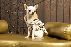 White short hair Chihuahua dog Stock Photo
