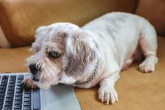 White short hair Shih tzu dog with computer laptop on sofa royalty free stock images