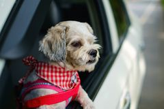 White short hair Shih tzu dog with cutely clothes looking out of the car window Stock Photos