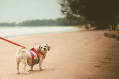 White short hair Shih tzu dog with cutely clothes and the red leash on the beach. For vacation and summer beach concept, added colour filter and vintage style stock images