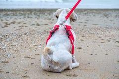White short hair Shih tzu dog sitting back on the beach. White short hair Shih tzu dog sitting back on the sandy beach Stock Photo