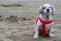 White short hair Shih tzu dog sitting on the beach. White short hair Shih tzu dog sitting on the sandy beach Stock Photo
