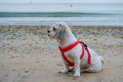 White short hair Shih tzu dog sitting on the beach. Seascape and summer beach concept Royalty Free Stock Photo