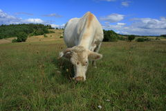 White shorthorn cow. Cow on a meadow with flowers Stock Photography