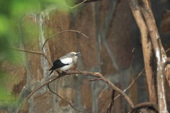 White-shouldered starling Stock Photos