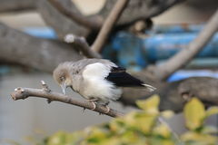 White-shouldered Starling Royalty Free Stock Image