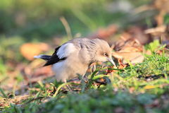 White-shouldered Starling Royalty Free Stock Images