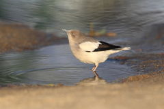 White-shouldered Starling Stock Photo