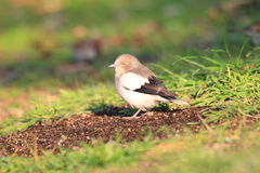 White-shouldered Starling Royalty Free Stock Photography