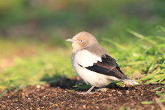 White-shouldered Starling Stock Photography