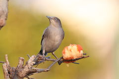White-shouldered Starling Royalty Free Stock Photos